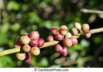 Coffee Beans - Closeup of coffee beans hanging on trees in a...