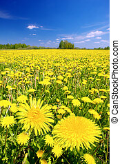 Charm of summer - Yellow dandelions on a summer solar meadow