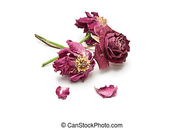Three dried rose blossoms with two torn petals isolated on...