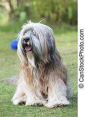 Tibetan Terrier - Tibetan terrier sitting in the grass
