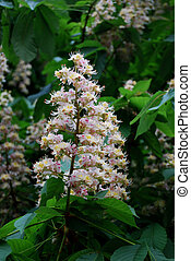 Aesculus hippocastanum (blossom of horse-chestnut tree) with...