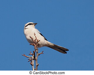 Northern Grey Shrike, Lanius excubitor