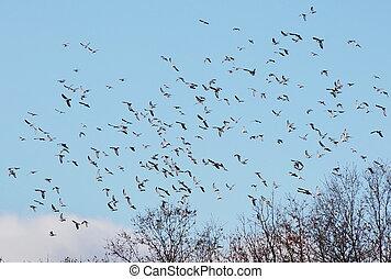 Flock of birds  Wood Pigeon