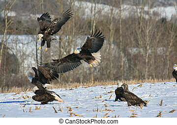 Eagles feeding in Winter - Bald Eagle, Eagles Haliaeetus...