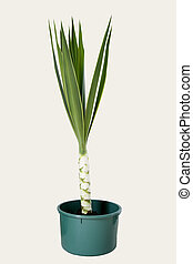 Yucca plant in pot on plain background