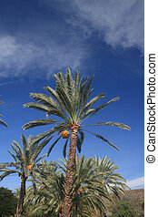palm tree with coconuts  against blue sky