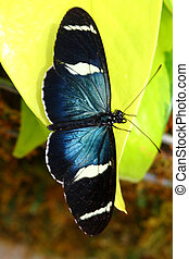 sara longwing, Heliconius sara, butterfly