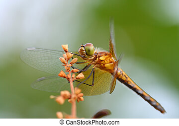 Orthetrum cancellatum, dragonfly, close up,