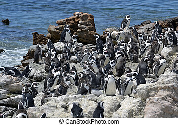 penguins on the coast - Jackass Penguins , Demersus...