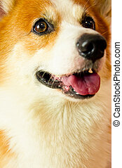 Pembroke Welsh Corgi - A Pembroke Welsh Corgi posing on...