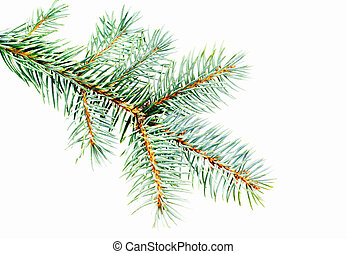 Blue Spruce - Picea pungens branch isolated on white...