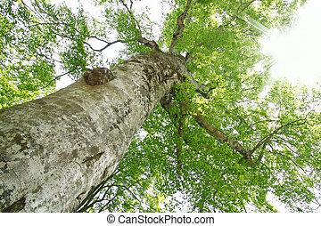 Mother tree in Shirakami-Sanchi - Shirakami-Sanchi
