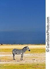 African Wild Zebra Kenya Amboseli national park
