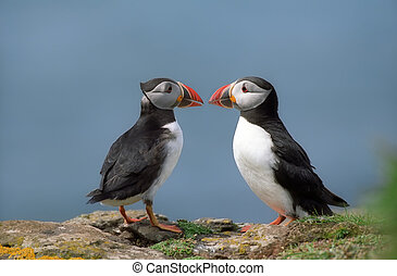 Two funny puffins on coastline Scotland