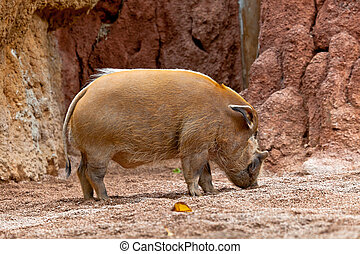 Red River Hog, Potamochoerus porcus pictus - A specimen of...
