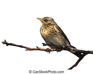 Fieldfare isolated on white