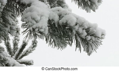 Spruce Twig In Snow - Spruce twig during snowfall closeup