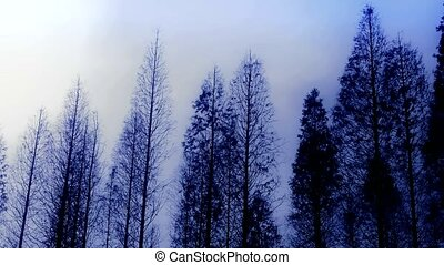 Trees crown sway in wind,metasequoia,Jungle,forest