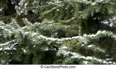 Snow cover pine trees.
