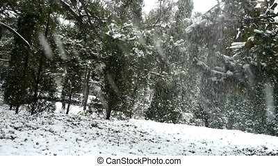 Snow falling from pine trees,cover grass.