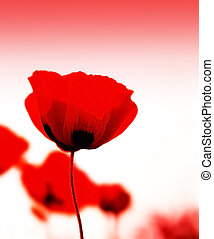Poppy flowers meadow - Red poppy flowers meadow with...