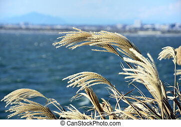 Japanese pampas grass Photograph was taken against the...