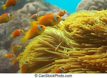 Group of clownfishes swimming among anemones - Close-up of...