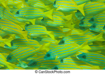 Whole frame of shoal of Bluestripe snapper fish - Whole...