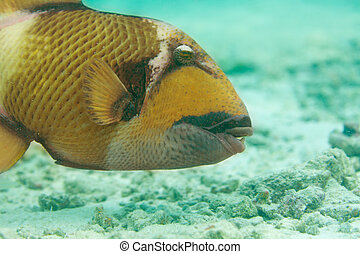 Titan triggerfish close-up