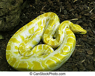Burmese Python - Coiled up large yellow and white Burmese...