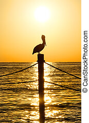 Brown Pelican in Golden Light - A brown pelican perched on a...