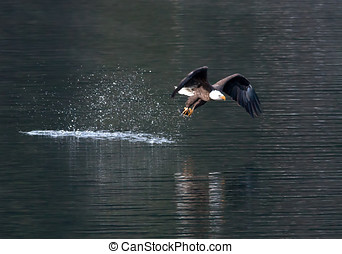 Eagle flies off from water.