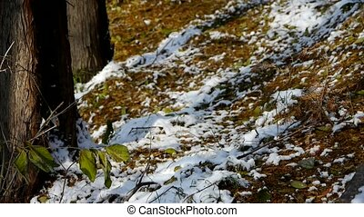 Green leaves relying trunk in snow,Forest winter.