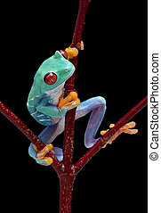 Frog looking around red vine - A red-eyed tree frog is...