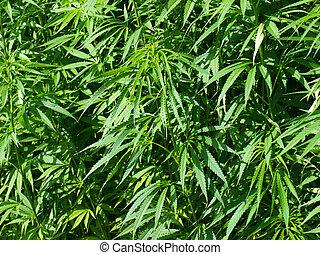 hemp background - detail of a hempfield grown for fibres