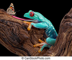 Frog trying to catch butterfly - A red-eyed tree frog is...