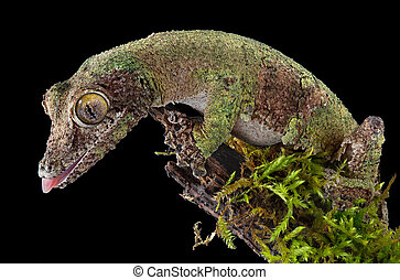 Mossy gecko on branch - A female mossy leaf-tailed gecko is...