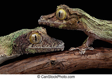 Two mossy geckos