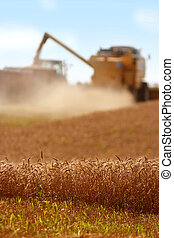 Grain harvest - Two machines harvesting grain on a summer...