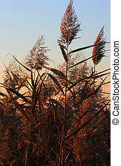Reeds, Phragmites Communis - Reeds against blue sky at...