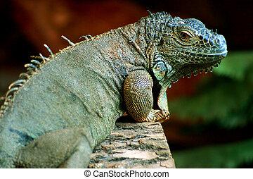 Green iguana(Iguana iguana)