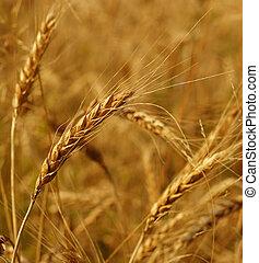 Grain field - Detail of a grain field, sunny day