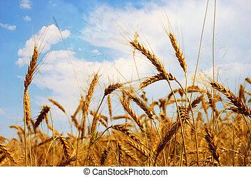 Grain field - Detail from a grain field, sunny day