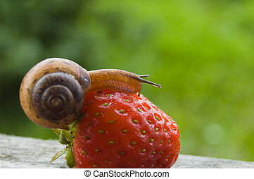 Garden snail creeping on a ripe red berry of a strawberry