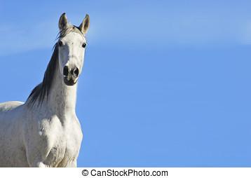 bianco, cielo, cavallo
