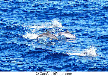 Atlantic Spotted Dolphins - Pod of Atlantic Spotted Dolphins