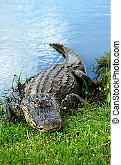 Basking American Alligator