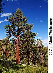 Ponderosa Pine tree on the eastern slope of the Sierra...