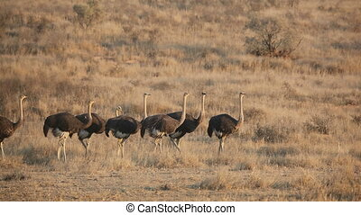 Ostriches - Group of ostriches Struthio camelus, Kalahari...