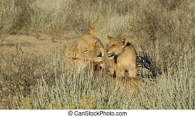 Lioness with cubs - Lioness (Panthera leo) in affectionate...